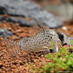 Corydoras atropersonatus/ Wild