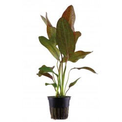 Echinodorus 'Ozelot'  en pot