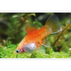 Platy Yellow Red Top