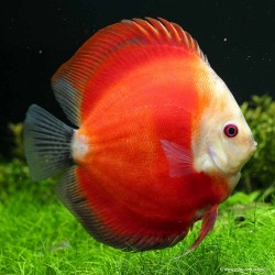 Discus Red White Face