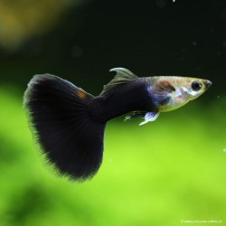 Guppy mâle Half Black