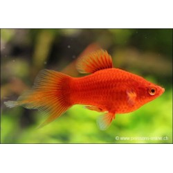 Platy rouge Corail Spitz