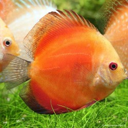 Discus Red Melon