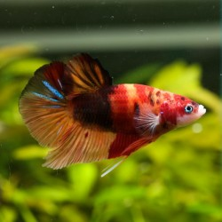 Betta male Némo N°7