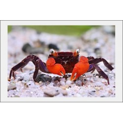 Crabe vampire diable rouge