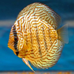 Discus Red Turquoise n°1