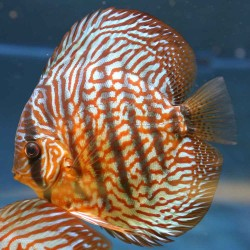 Discus Red Turquoise n°2