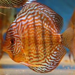 Discus Red Turquoise n°3