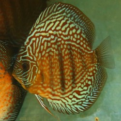 Discus Red Turquoise n°4