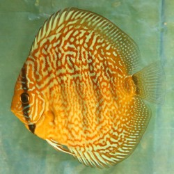 Discus Red Turquoise n°5